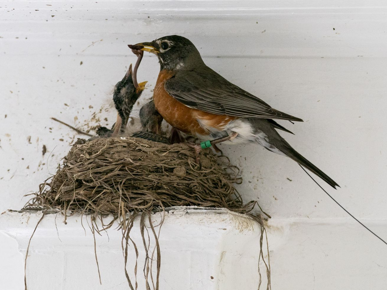 The antenna of an Argos satellite tag extends past the tail feathers of a female American robin as she feeds a worm to her hungry nestlings on a front porch in Cheverly, Maryland.