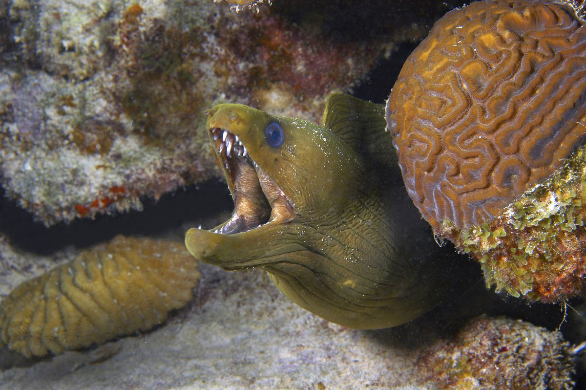 Green moray looking out of coral cave Gymnothorax funebris Curacao, Netherlands Antilles Digital Photo (horizontal)