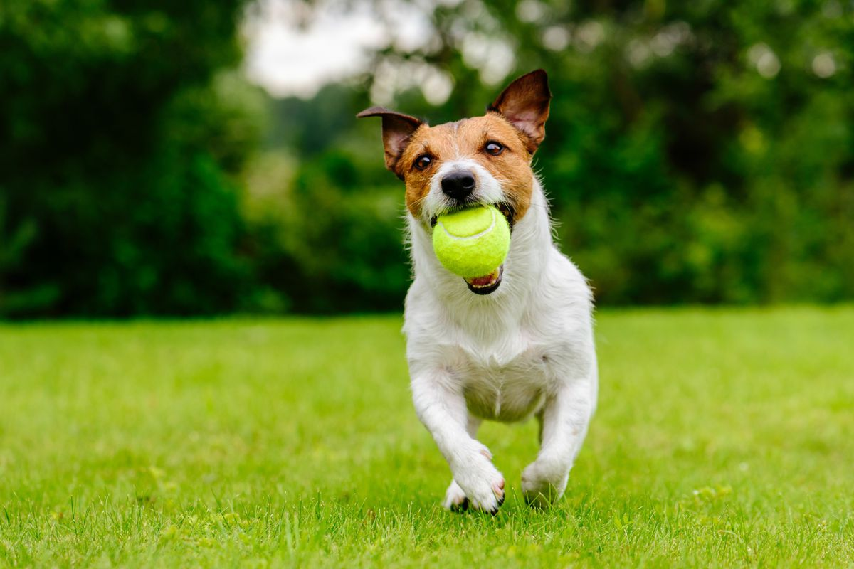 A white and brown terrier runs toward the camera in a green yard while holding a yellow tennis ball.