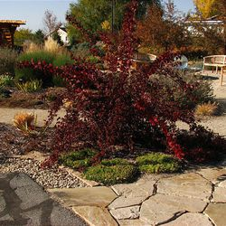 Ninebark, a native Utah plant, is a very showy and water-wise bush for the garden that comes in a variety of colors.