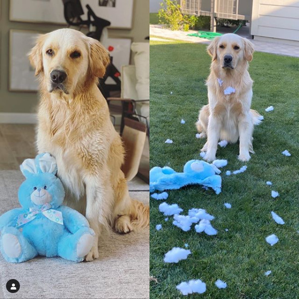 Rookie the golden retriever before and after receiving a new toy