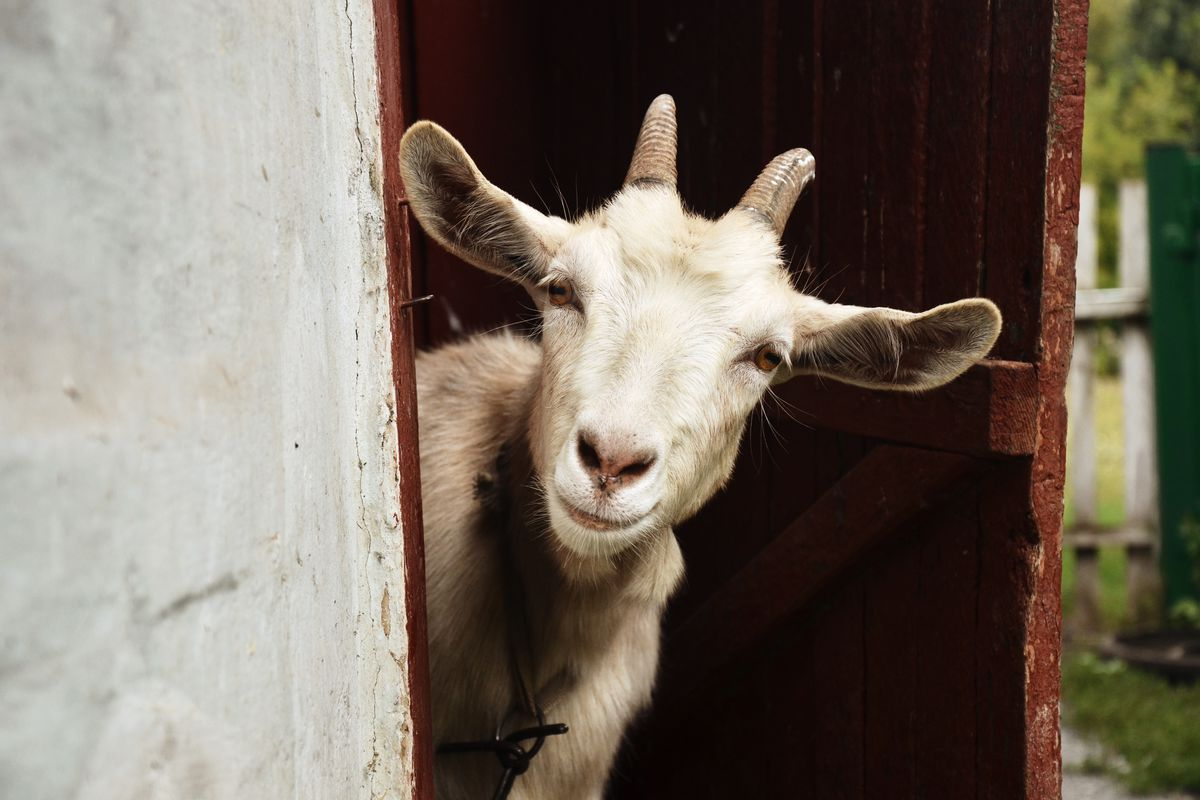 Goats prefer happy humans as opposed to sad ones, according to a new study.