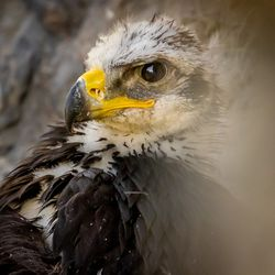 A 6 1/2- to 7-week-old golden eagle nestling peers out from its nest in Tooele County on Thursday, June 17, 2021.