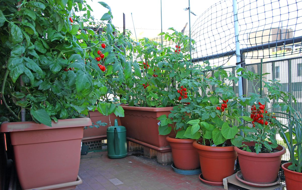 Potted tomato plants are ideal for balconies, terraces or porches.