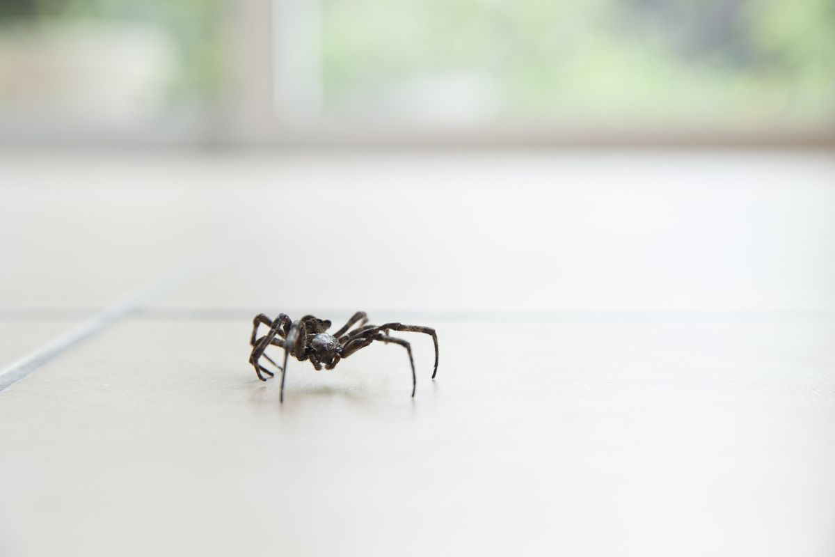 Close-up of a spider in a home