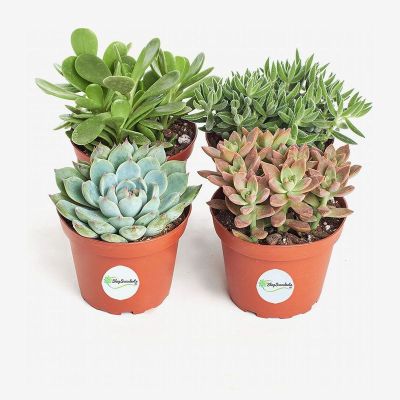 Small terra cotta planters hold succulents.