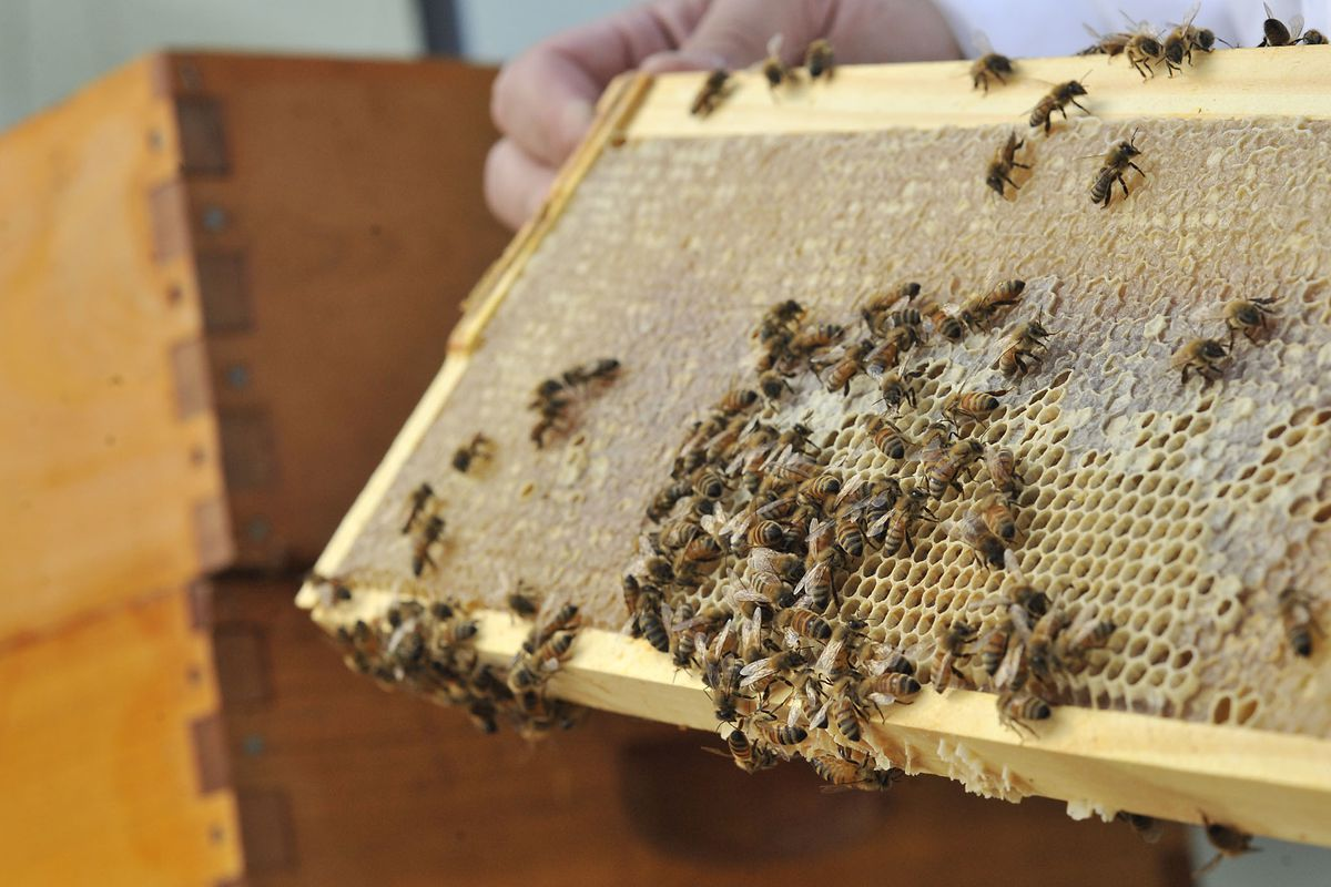 """FILE - Frank Whitby handles bees on the beehive on the roof of the Salt Lake City Library in Salt Lake City, Utah, Monday, Aug. 2, 2010. """"If there's been a period of several rainy days, that first nice day is usually a pretty active swarm day, at least in"""