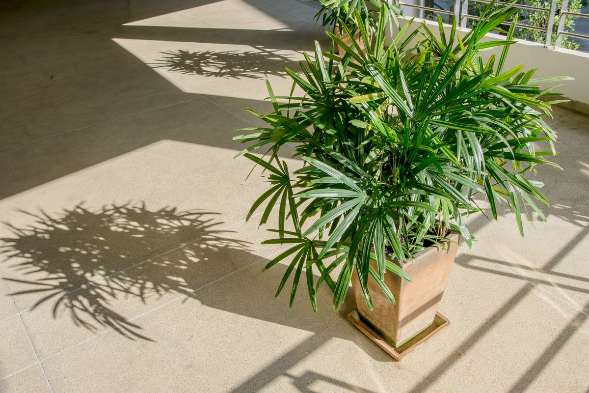 House Plants, Lady Palm