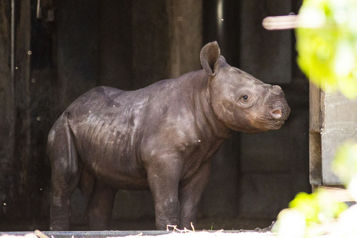 Baby rhino to make his public debut at Lincoln Park Zoo — maybe