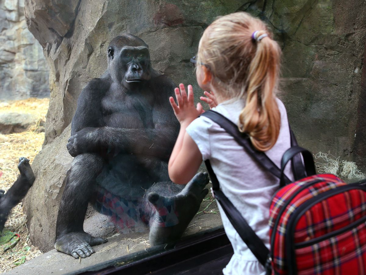 A girl looking through glass at a gorilla at a zoo.