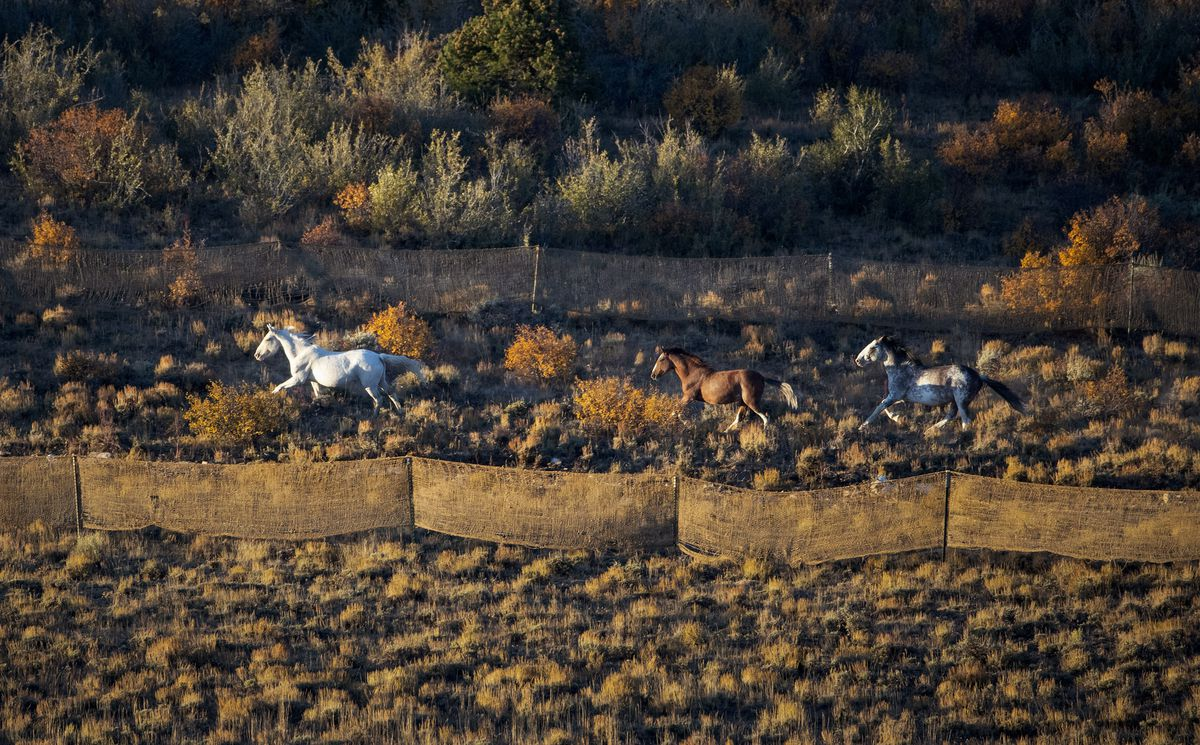 Wlild horses run into a trap after being herded into it by a helicopter during the Bureau of Land Management's Range Creek horse gather near Wellington, Carbon County, on Tuesday, Oct. 1, 2019.