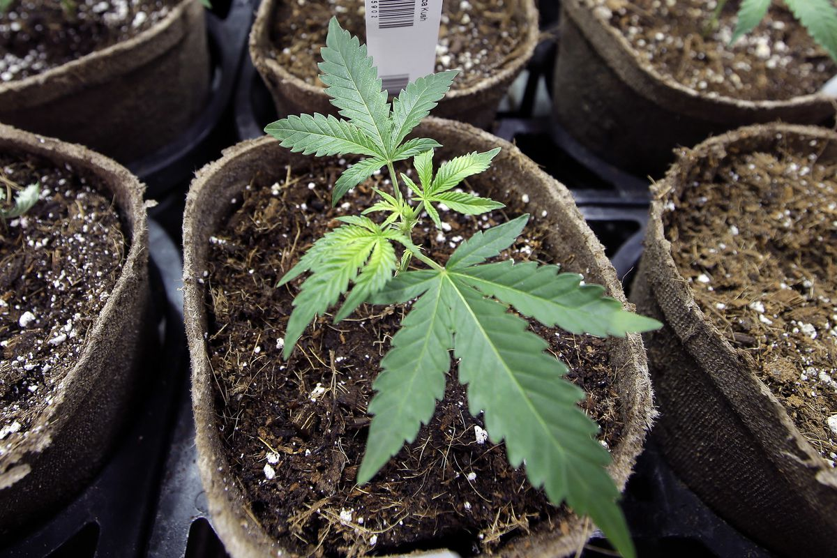 FILE - In this Thursday, July 12, 2018 file photo, a newly-transplanted cannabis cuttings grow in pots at a medical marijuana cultivation facility in Massachusetts. In a report released on Monday, Aug. 27, 2018, researchers at UC San Diego detected mariju
