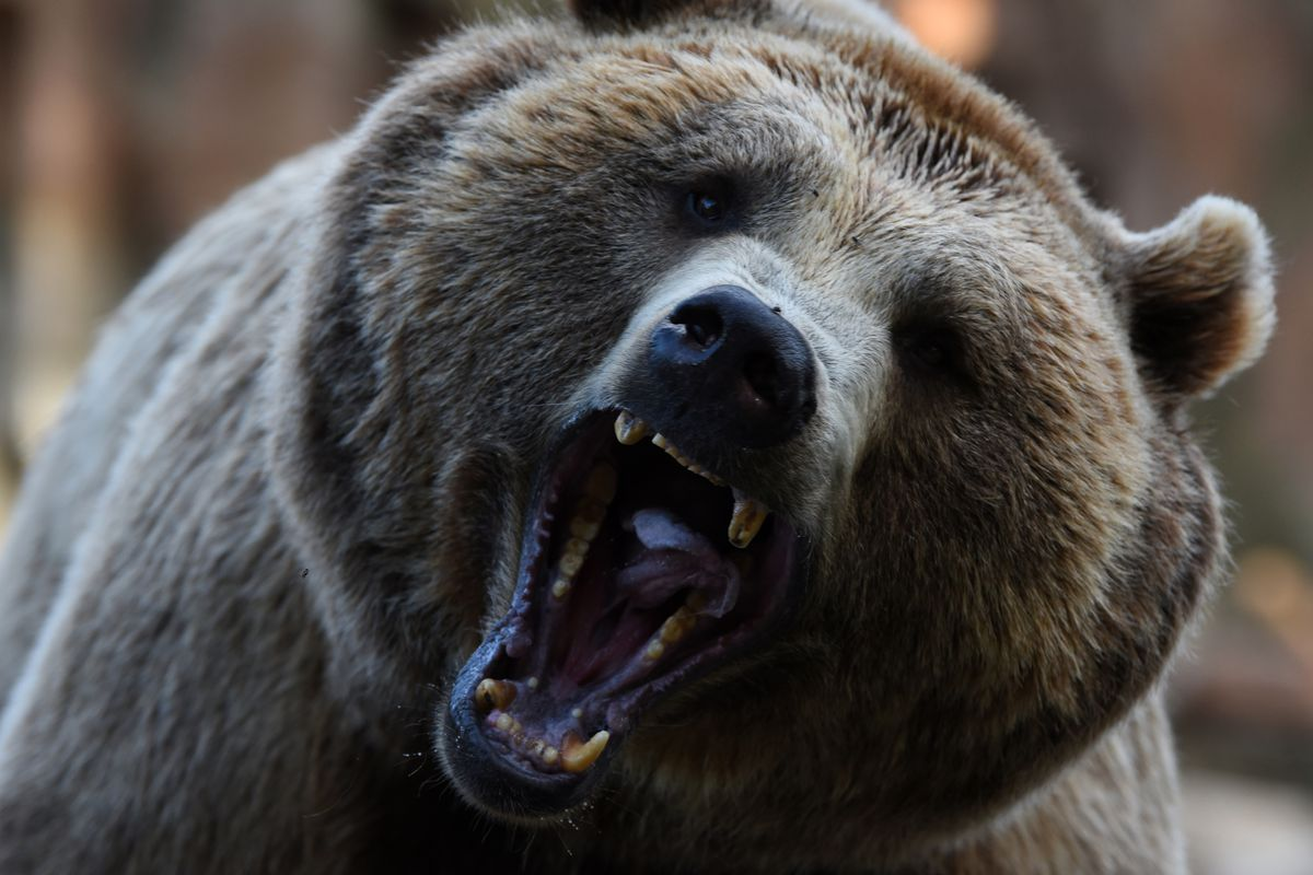 A Brown bear pictured waiting for food at Madrid zoo...