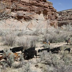 Cattle driven up the Little Grand Canyon of the San Rafael Swell  Saturday, April 2, 2011, in the San Rafael Swell in Central Utah.