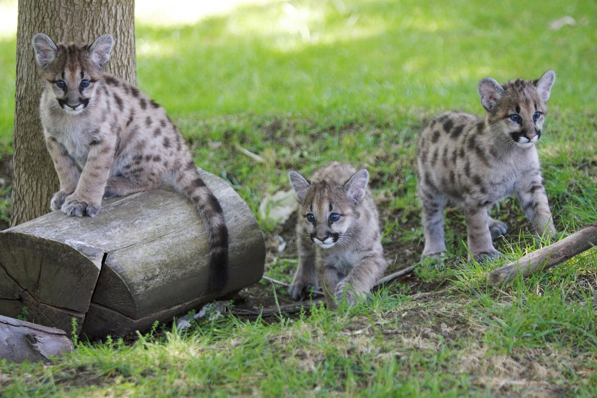Rescued Cougar Cubs Make New Home In California