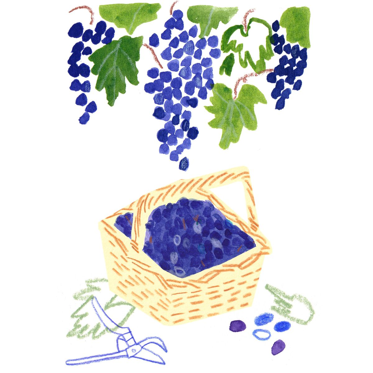 A drawing of a brown-and-white basket full of purple grapes on the ground with pruning shears underneath a vine of purple grapes and green leaves.