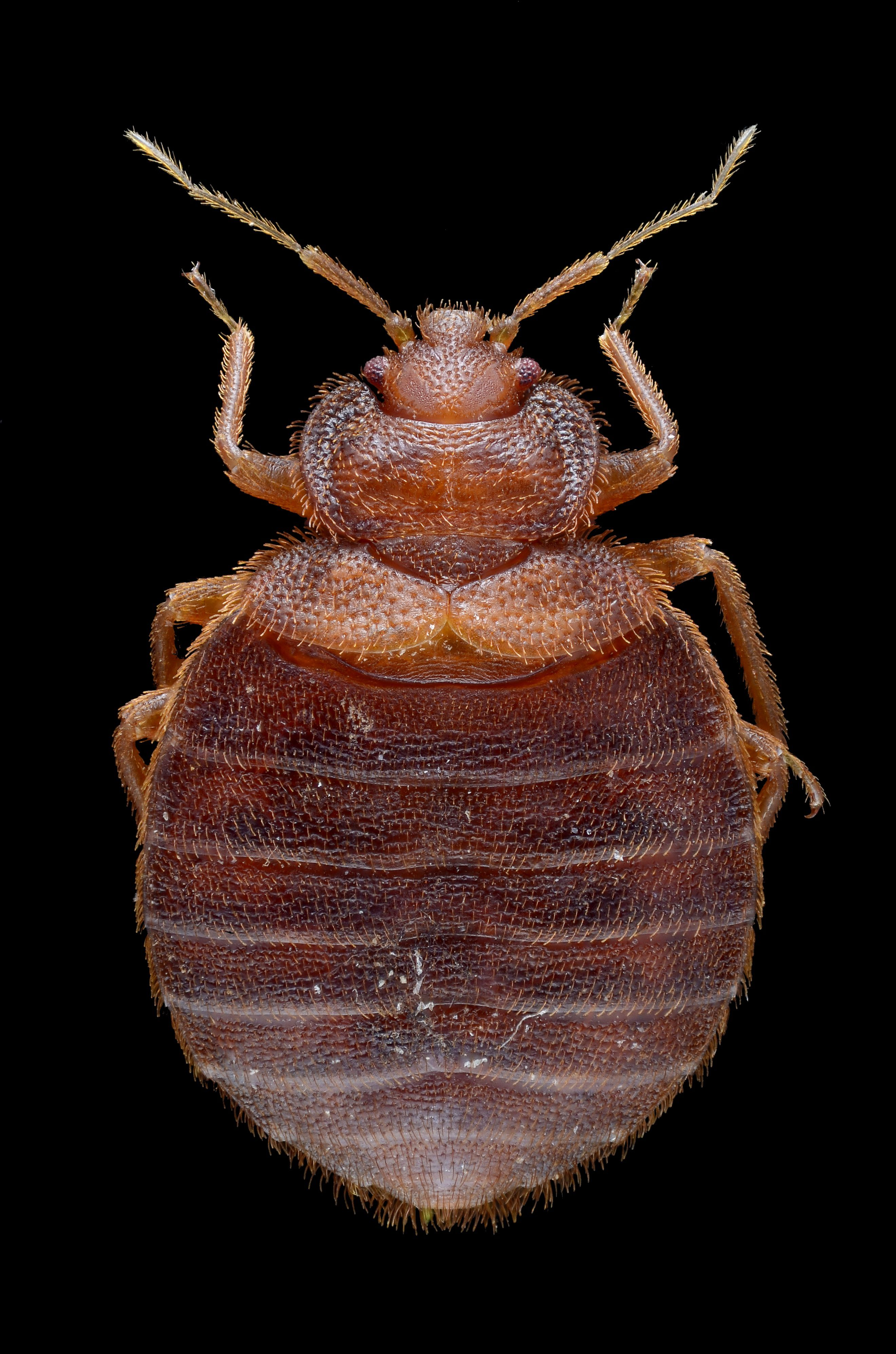 Bed bug genome shows how gnarly these creatures really are
