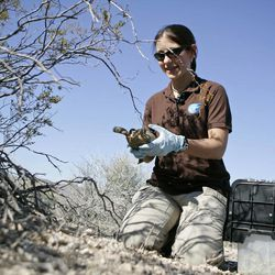 ADVANCE FOR WEEKEND, SEPT. 29 AND THEREAFTER - In this photo taken Friday, Sept. 21, 2012, Jen Germano, post doctoral researcher with the San Diego Zoo, releases a desert tortoise at the Nevada National Security Site in Mercury, Nev. Germano heads the project that will observe the federally protected reptiles after they are reintroducted to desert habitat.