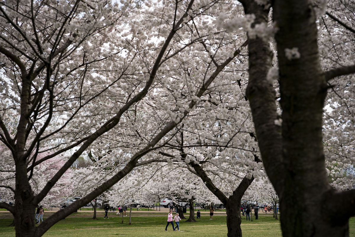 Cherry Blossoms Begin Blooming in Washington D.C.