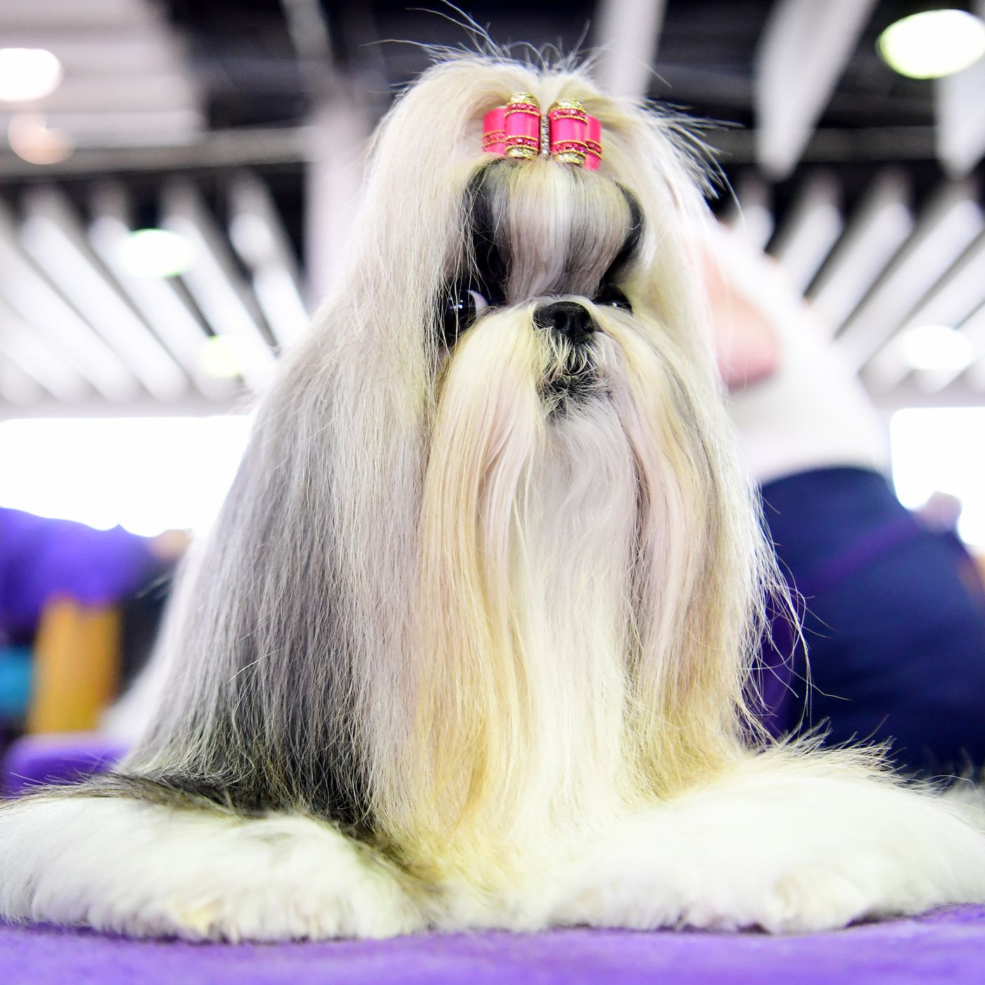 Watch Westminster Dog Show 2020.Westminster Dog Show 2019 Live Stream Time Tv Schedule