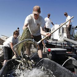 Jeff  Walton, center, uses a net to take June sucker fish out of a transport truck and into tubs on a boat at Utah Lake State Park. The fish will be taken about a mile out from shore and planted into the lake.