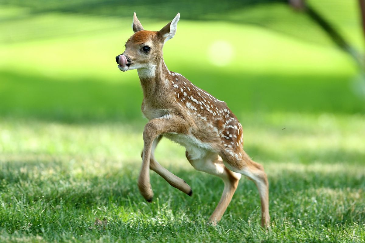 This baby deer's first GOLF memory. It's a baby deer. On a golf course. It's a baby deer on a golf course.