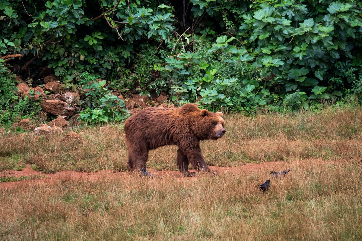A brown bear in Cabarceno Nature Park