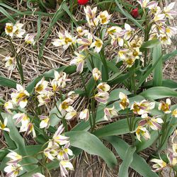 Tulipa turkestanica Hortus Bulboumm Netherlands
