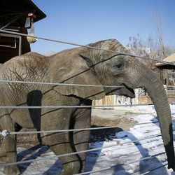 Researchers have drawn blood from many elephants in an attempt to better understand why elephants do not get cancer, including Zuri, 7, pictured here at Hogle Zoo in Salt Lake City on Tuesday, Jan. 17, 2017.