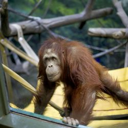 Acara, an orangutan, heads to the glass to interact with guests at Utah's Hogle Zoo in Salt Lake City on Wednesday, March 31, 2021. According to zoo officials, the primates missed the interaction with guests during the zoo's 50 days of closure that occurred at the onset of the coronavirus pandemic.