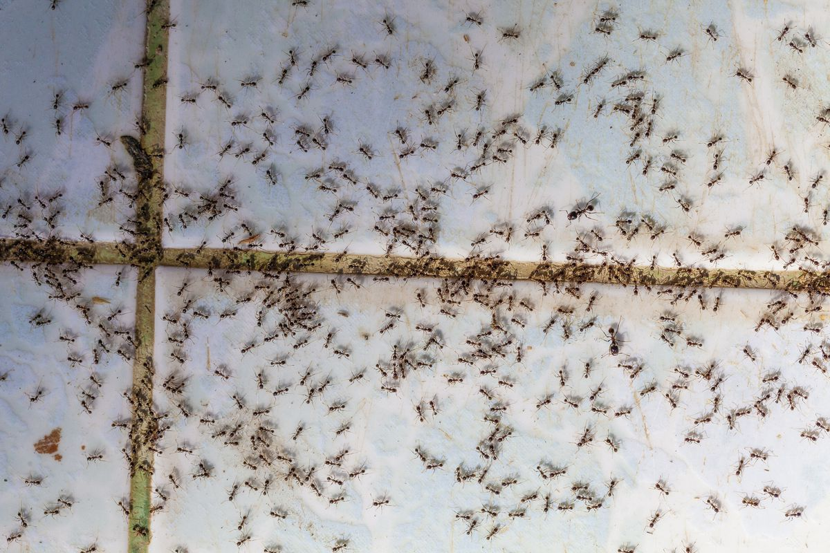 A close up shot of several ants crawling on a tile floor.