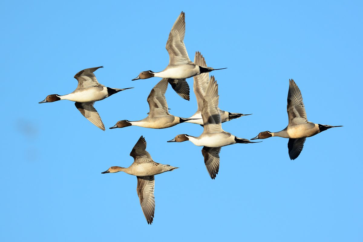 Pintails in flight. Provided by Illinois Natural History Survey