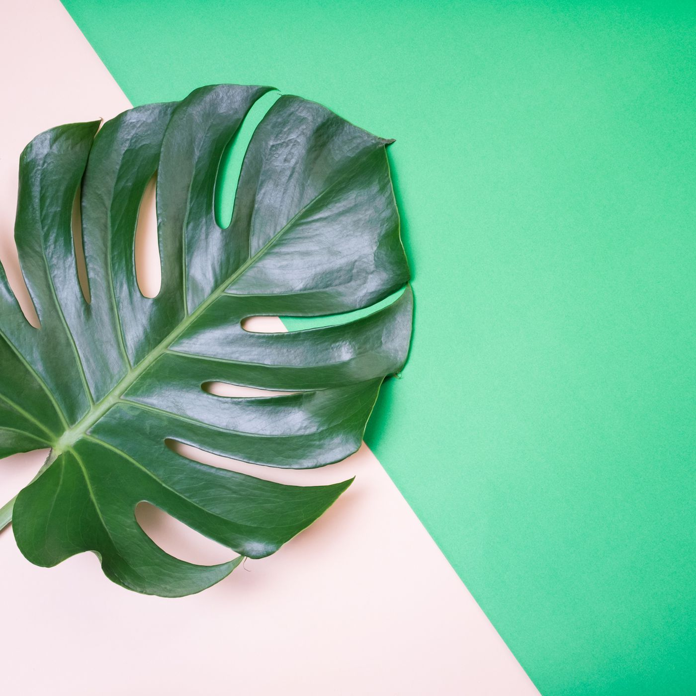 The Monstera Deliciosa Or Swiss Cheese Plant Is Everywhere Racked