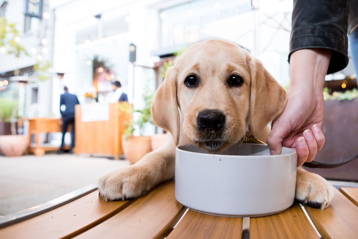 A yellow English lab puppy sitting at a table with a bowl of food.