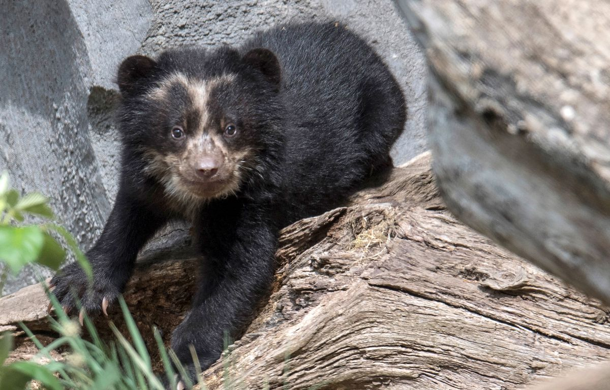 Spectacled bear babies