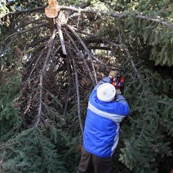 Ted Crandall helps clear fallen trees from the home of his neighbor Shan Stott following a wind storm in Layton, Thursday, Dec. 1, 2011.