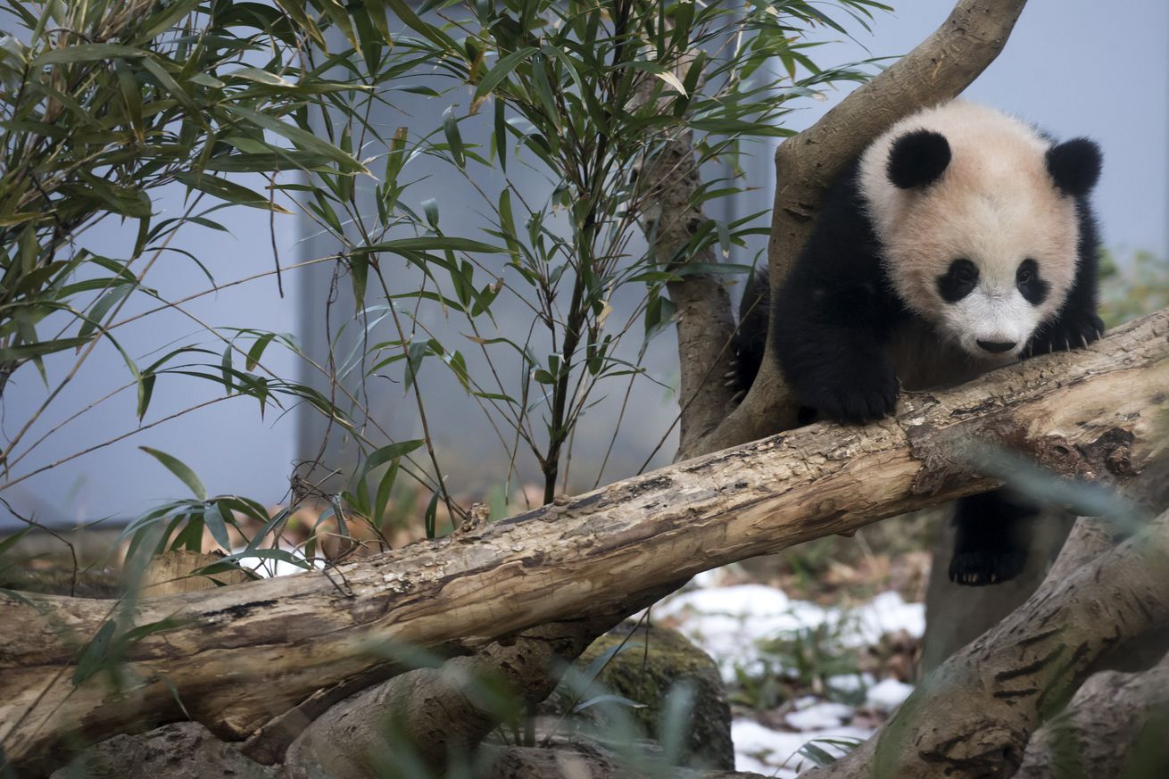 Don't underestimate pandas, their bodies can neutralize cyanide