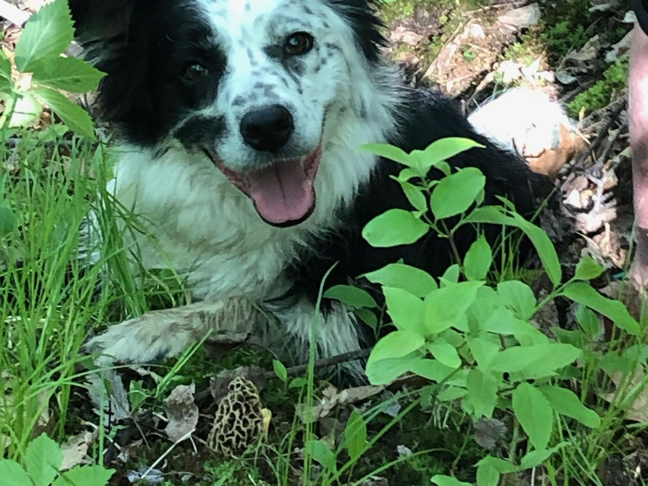 Clarity, a border collie, is the demo dog for teaching morel-hunting to dogs and shown here with her find. Provided by Inga From