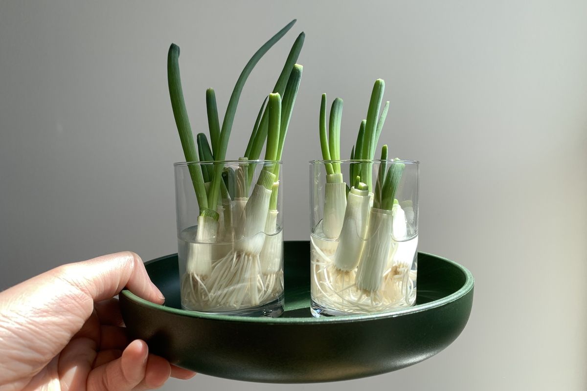 Scallion bulbs in a two glass jars on a round green tray.