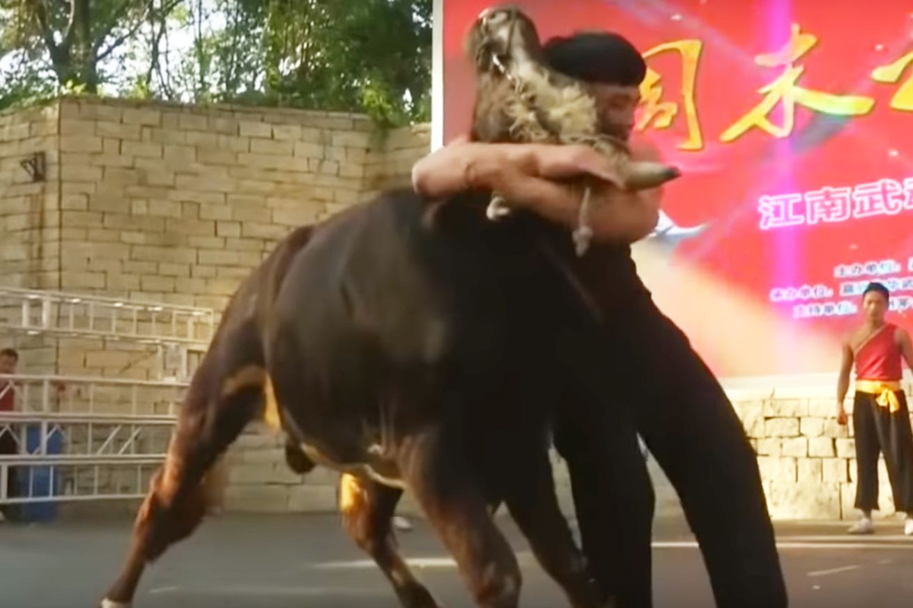 Video: Martial artist takes bull by the horns, and pins it