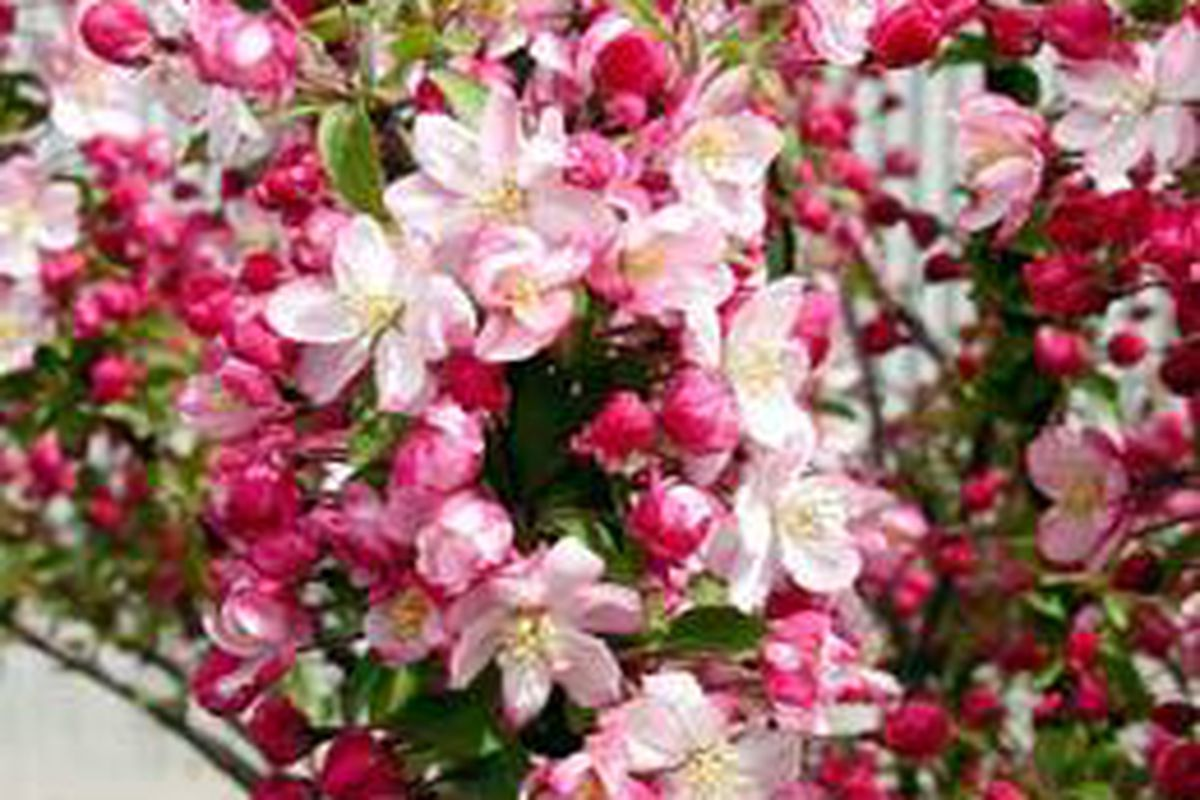 Crab Apple A Nearly Perfect Tree Deseret News