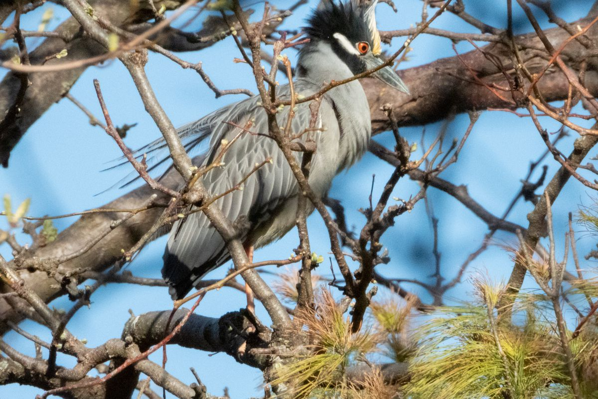 A yellow-crowned night heron at Lincoln Park Zoo. Credit: Dr. Elizabeth Pector