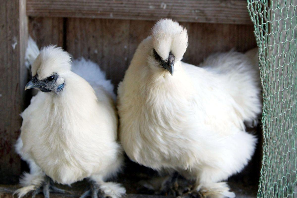 Japan Struggles To Contain Bird Flu Outbreak
