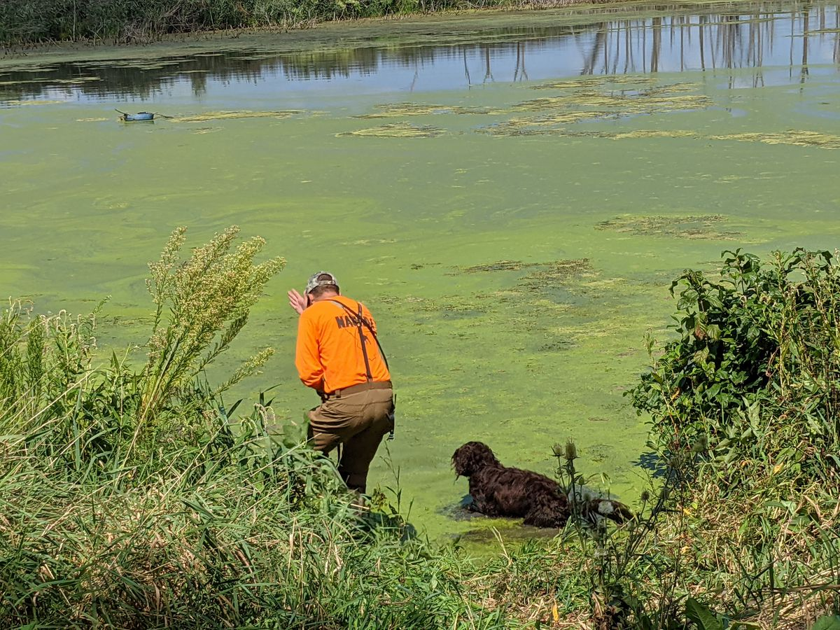 A club member works his dog in a backwater at Des Plaines State Fish and Wildlife Area during the duck search portion of a training day for the Illinois chapter of North American Versatile Hunting Dog Association. Credit: Dale Bowman