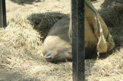 Wombat at rest
