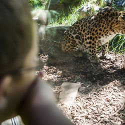 A boy watches as Dmitri, an Amur leopard, searches for treats during Ice Block Day at Hogle Zoo on Saturday, July 11, 2015, in Salt Lake City. A leopard named Zeya (not pictured) escaped from her enclosure at the zoo on Tuesday.