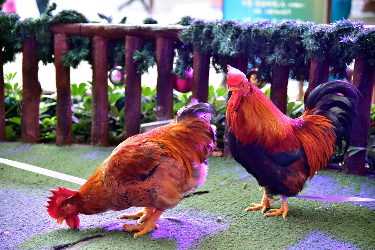 Cocks And Hens Beauty Contest In Guangdong