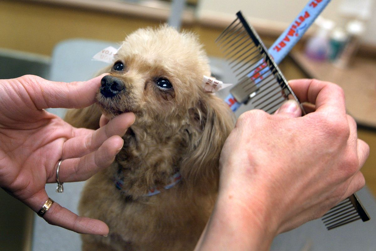 A tiny blonde-haired poodle looks up at a groomer; the groomer's hands are delicately holding the poodle's nose in place and combing its hair.