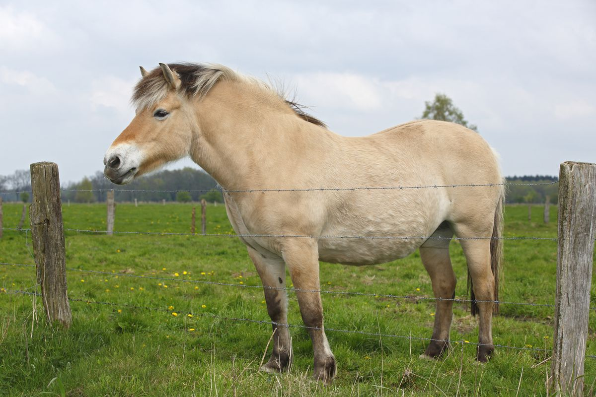 Norwegian Fjord Horse, a stocky dun horse with a two-toned blond and brown mane.