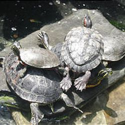Turtles sun themselves on a rock in the rain forest exhibit at Rapid City's Reptile Gardens, a popular attraction in the Black Hills region.